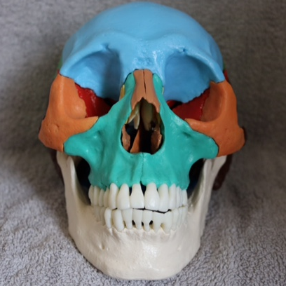 Disarticulated Adult Skull - Didactic Coloured